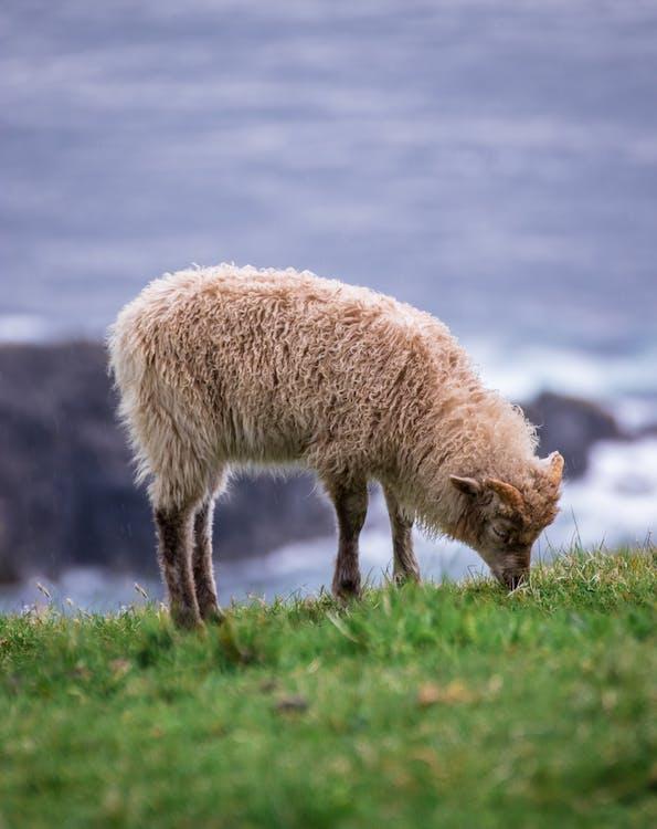 Sheep Eating Green Grass