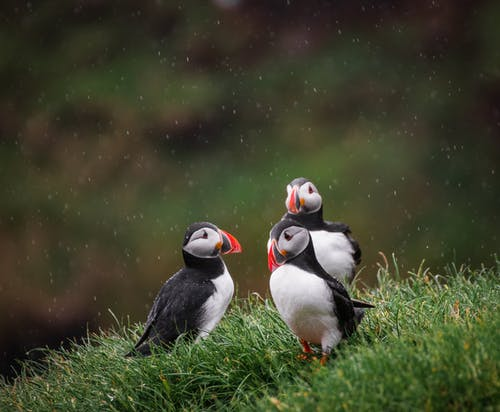 Δωρεάν στοκ φωτογραφιών με puffins, άγρια φύση, γλυκούλι, ζώα
