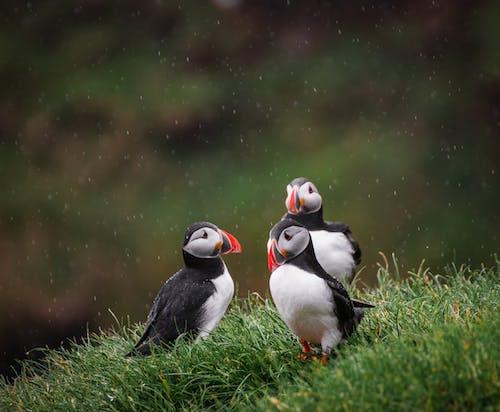 Základová fotografie zdarma na téma divočina, faerské ostrovy, mykines, ptáci