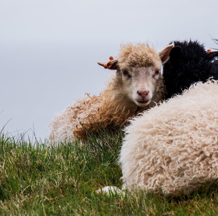 가축, 귀여운, 농장
