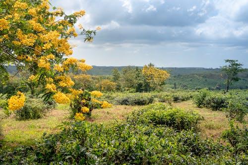 คลังภาพถ่ายฟรี ของ การเกษตร, ชนบท, ชาเขียว, ดอกไม้