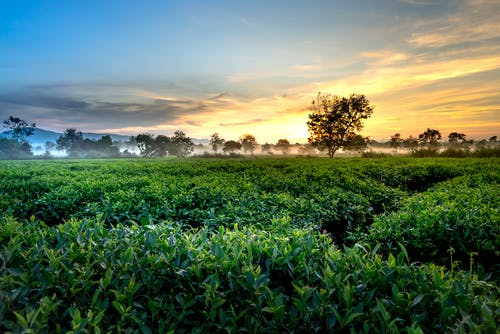 Green Tea Farm during Golden Hour