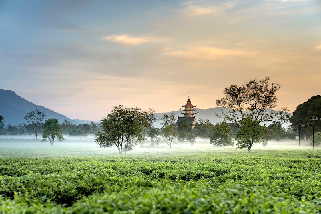 Green Tea Field