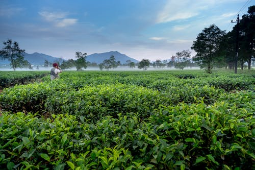 Man Standing on Green Tea Leaves Farm Near Mountains Taking a picture