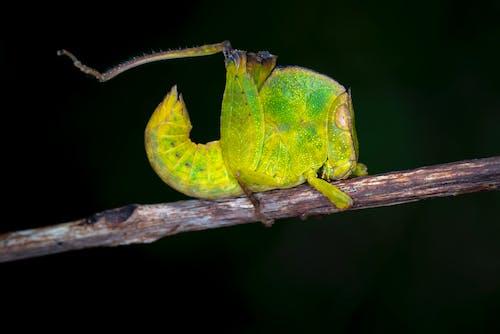 คลังภาพถ่ายฟรี ของ treehopper, กลางแจ้ง, การถ่ายภาพมาโคร, การถ่ายภาพสัตว์