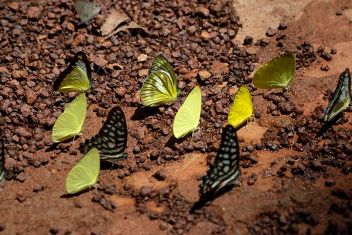 Photo of Mud-puddling Butterflies