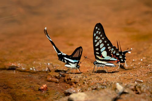Two Swallowtail Butterfly o\On Brown Soil