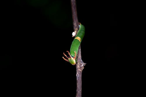 Gratis stockfoto met dragon-headed caterpillar, gemeenschappelijke nawab, groei, helder