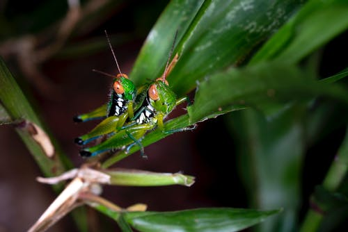 Two Green Grasshoppers on Green Leaf Plant