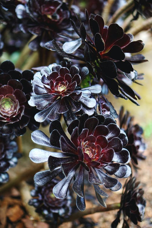 Close-Up Photo of Black-Petaled Flowers