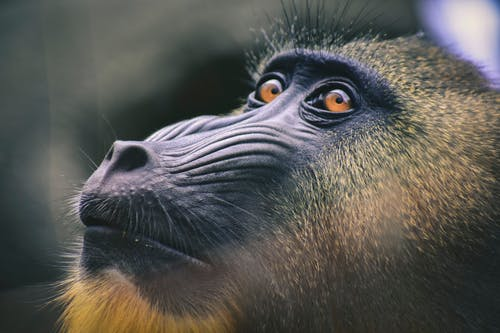 Black and Brown Baboon Close-up Photography