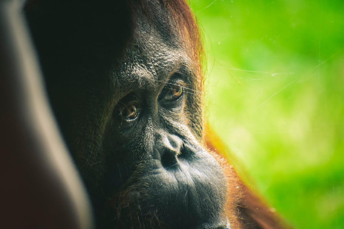 orangutang in Close-up Photography
