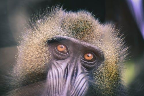 Primate's Head
