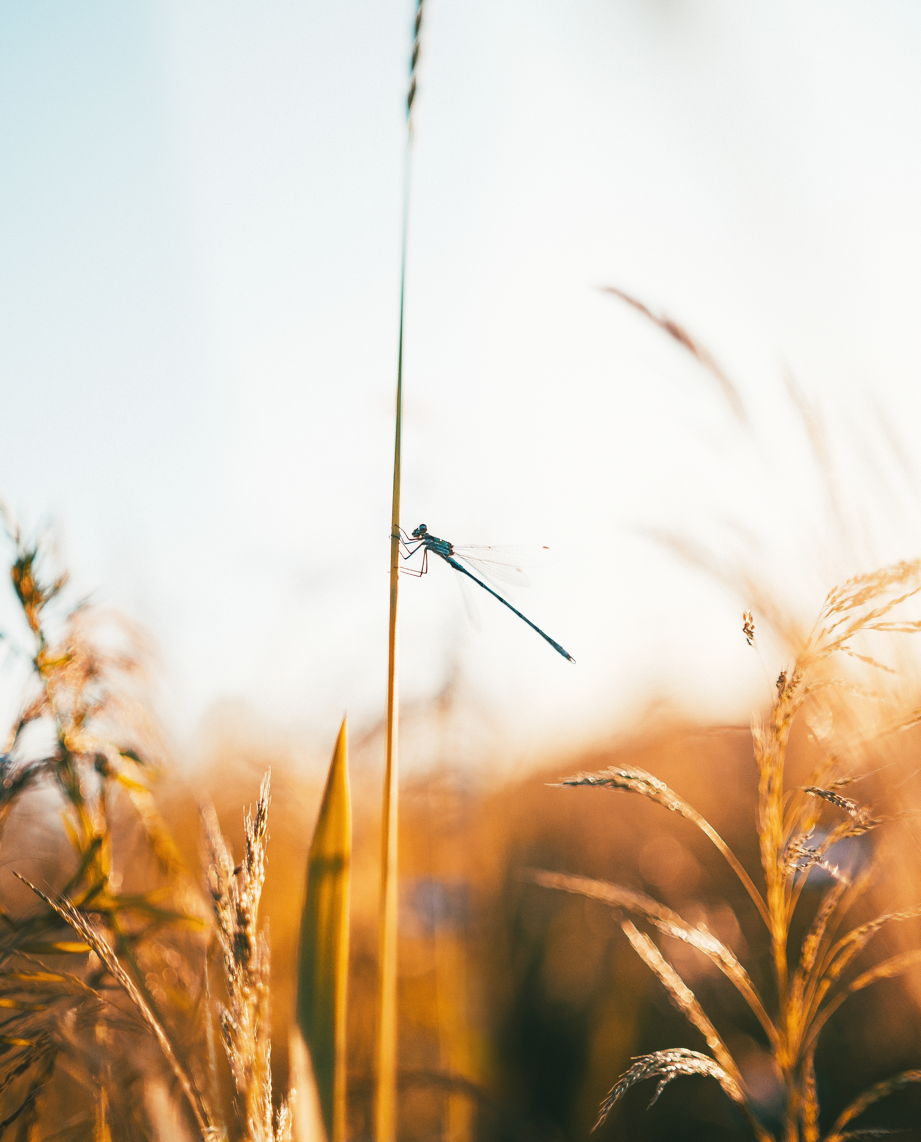 Selective Focus Photo of Dragonfly Perched on Wheat
