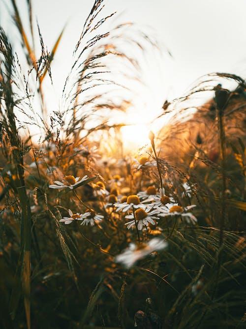 Darmowe zdjęcie z galerii z białe stokrotki, delikatny, flora, głębia pola