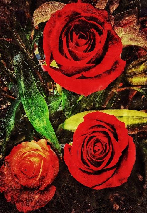Fotobanka sbezplatnými fotkami na tému # tri-rose-fotografovanie, #kvetina, #mobilechallenge, #natural