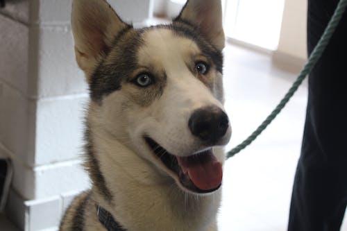 Foto d'estoc gratuïta de gos, husky