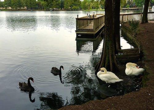 Free stock photo of city park, lake, swan lake