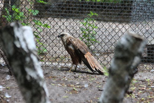 Foto d'estoc gratuïta de animal, au, au rapinyaire, aviari