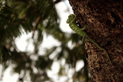 Close-Up Photo of Green Chameleon on a Tree
