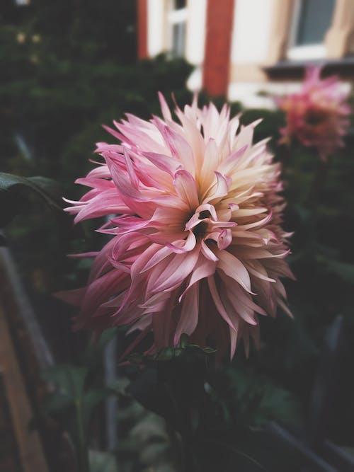 Ilmainen kuvapankkikuva tunnisteilla daalia, kasvi, kasvikunta, kukinta