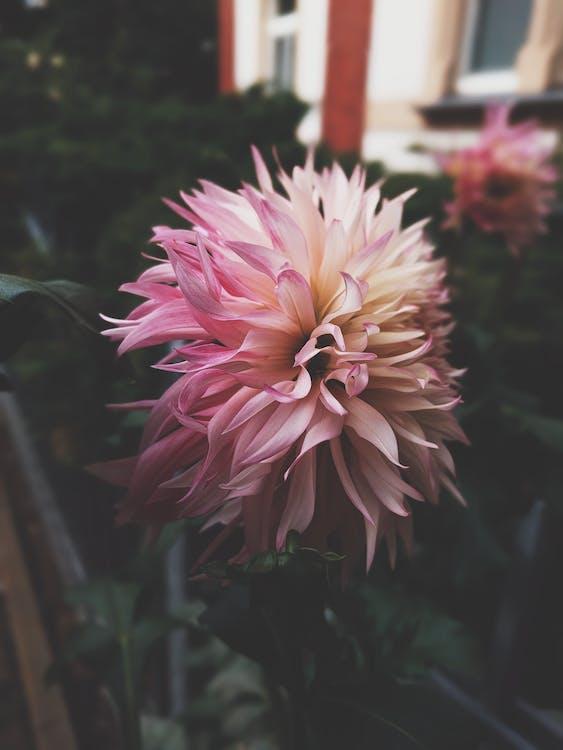 dalie, floare, floră