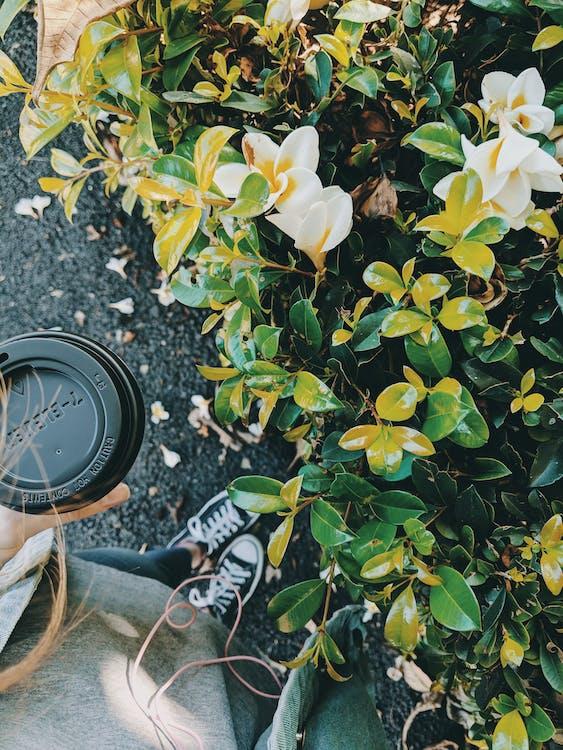 arbust, băutură, cafea