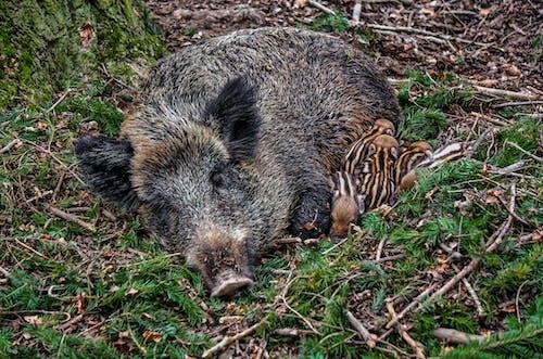 Fotos de stock gratuitas de animal, cerdo, madre, madre e hijo
