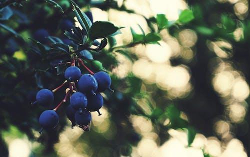 Foto stok gratis beri, buah, cabang, Daun-daun