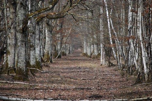 Kostnadsfri bild av björk, skog, träd