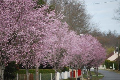Fotobanka sbezplatnými fotkami na tému jar, kvet ovocného stromu, pružina, ružová