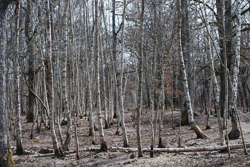 Kostnadsfri bild av björk, fjäder, resår, skog