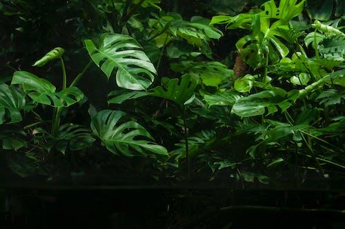 คลังภาพถ่ายฟรี ของ ต้นไม้, ป่าฝน, พืช, มอนสเตอร่า