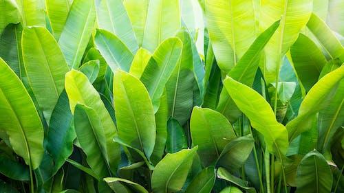 Бесплатное стоковое фото с банан, банановый лист, зеленый