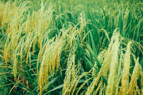 Close-Up Photo Of Rice Plains