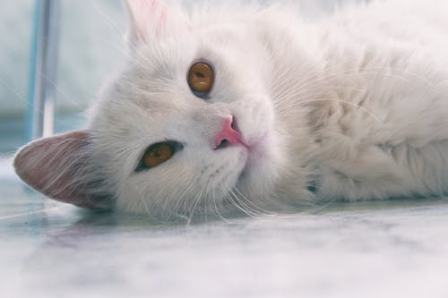 Close-Up Photo of White Cat Lying Down