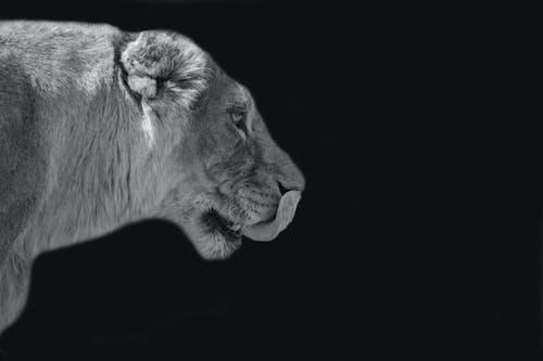 Gratis arkivbilde med dyreverdenfotografier, løve, villdyr