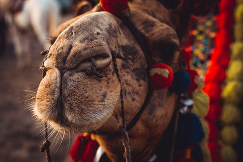Close up Photo of Brown Camel