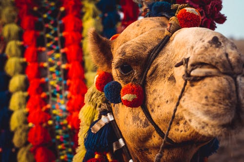 Close-up Photo of Camel Head