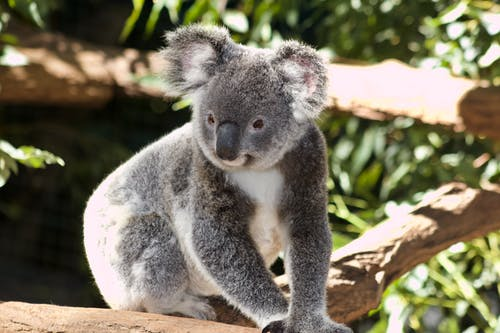 White And Grey Koala