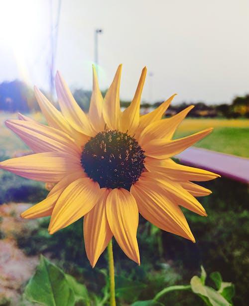 Gratis lagerfoto af HD-baggrund, sløret baggrund, solsikke, solskin