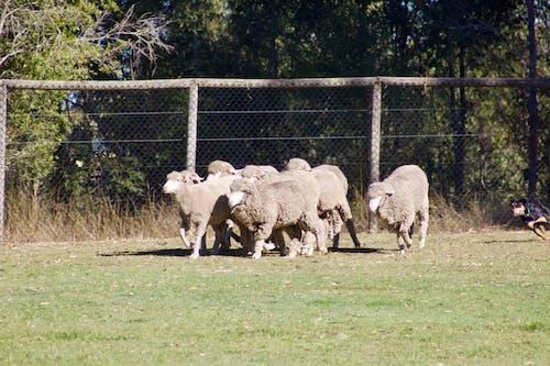 Δωρεάν στοκ φωτογραφιών με πρόβατα