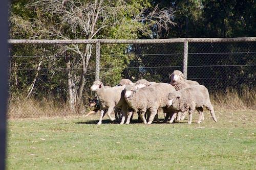 Δωρεάν στοκ φωτογραφιών με πρόβατα, σκύλος προβάτων