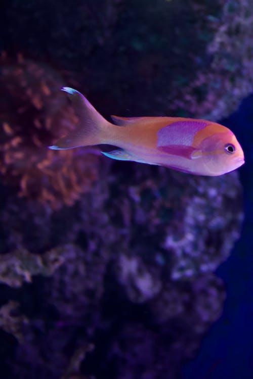 Gratis arkivbilde med fisk, rosa