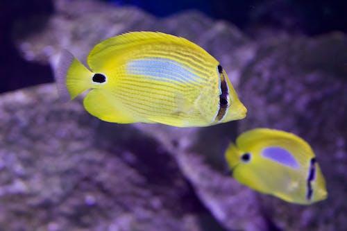Gratis arkivbilde med fisk, gul