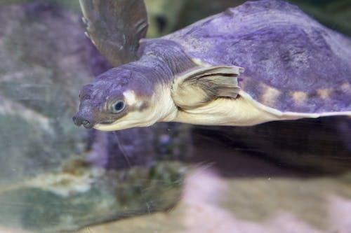 Безкоштовне стокове фото на тему «Морська черепаха, свинячий ніс, черепаха»