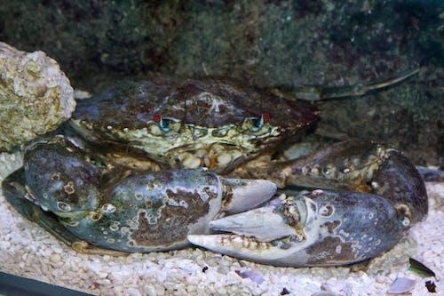 Gratis arkivbilde med blå krabbe, krabbe