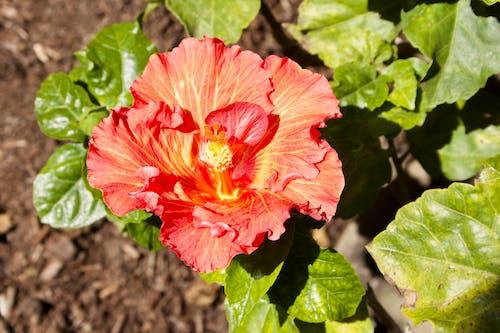 Gratis arkivbilde med vakker blomst