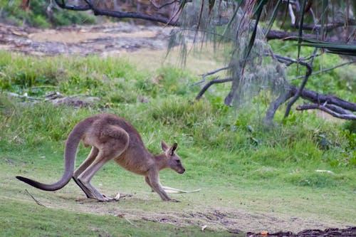 Gratis arkivbilde med australia, kenguru, villdyr