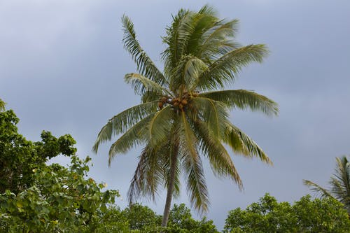 Gratis arkivbilde med kokosnøtt, kokosnøttre, tropisk
